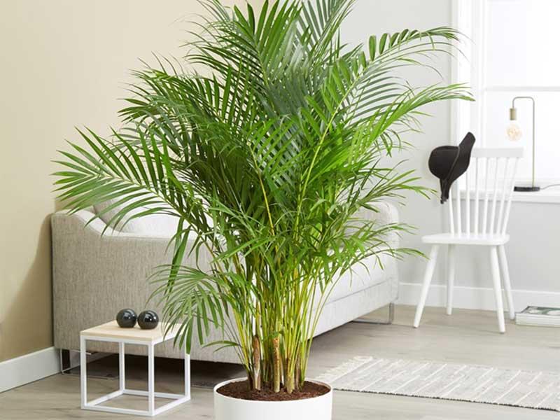 Cây cọ loại cây xanh bạn nên đặt trong nhà