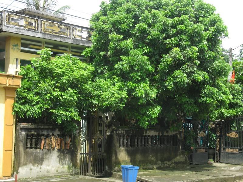 Không nên trồng cây cổ thụ trước nhà cấp 4